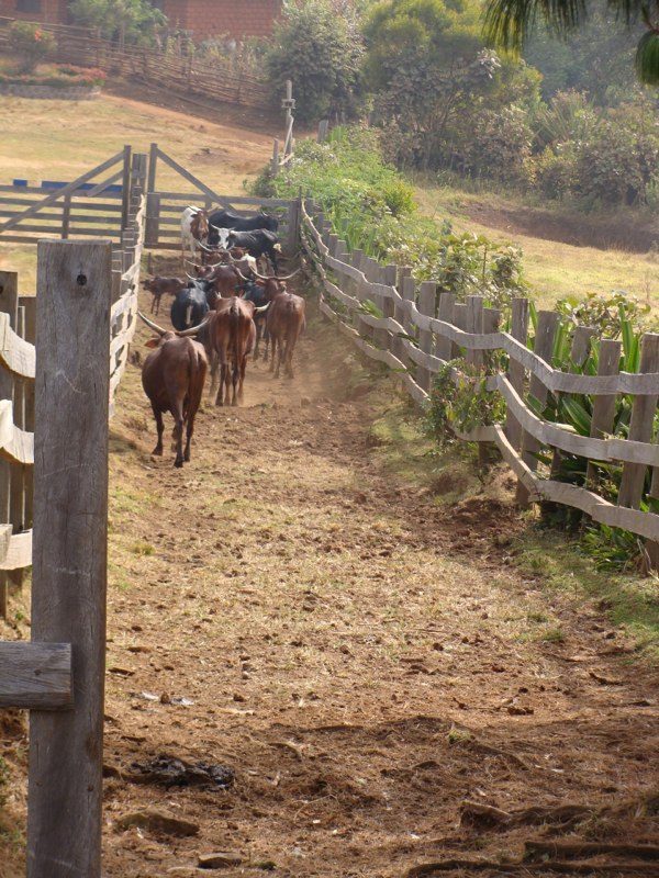 livestock entry to cattle chute