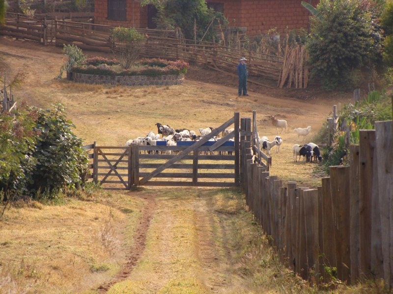 Sheep coming for fecal study