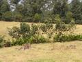 Edible living fence