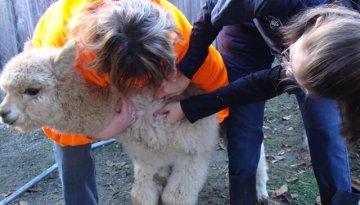 livestock-vaccination